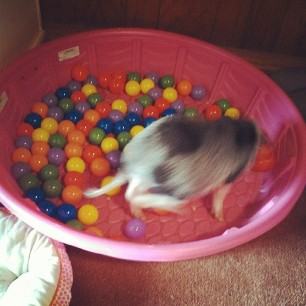 yes, my pig has her own ball pit. don't be jealous. #pigstagram