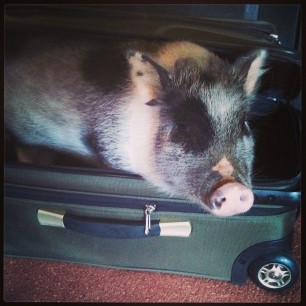 caught someone suitcase nappin' #pigstagram