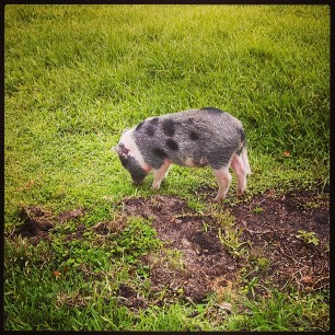 I am Daisy, mower (and destroyer) of lawns #pigstagram