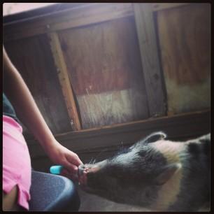 Popsicle thief #pigstagram