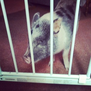 behind bars #pigstagram