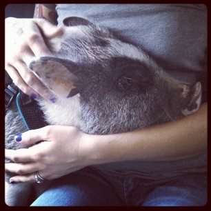 snuggles after surgery #pigstagram