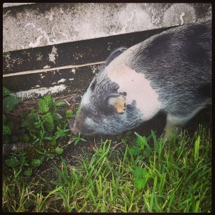 she likes a clean edge #pigstagram