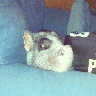 ready for sportsball #pigstagram