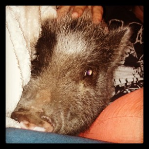 facesnuggle due to the storm #pigstagram