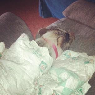 Daisy likes her blanket #pigstagram