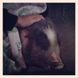 all tucked in #pigstagram