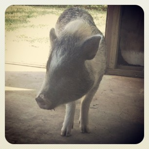 coming in from a morning root of the yard #pigstagram