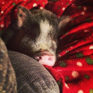 Daisy is chair nappin' in her Christmas blanket #pigstagram