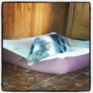 dog bed? I don't see any dogs. #pigstagram
