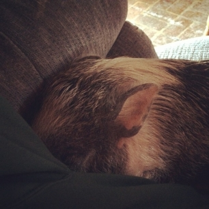 Daisy is snugglin' to avoid the cold. work be damned. #pigstagram