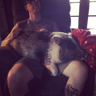 I'm still a lap pig, daddy! #pigstagram