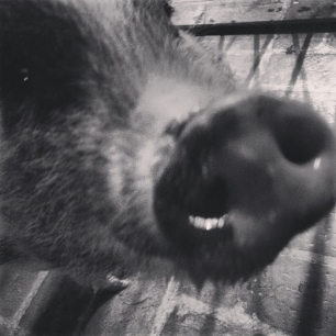 LOOK AT MY SNOUT DADDY #pigstagram