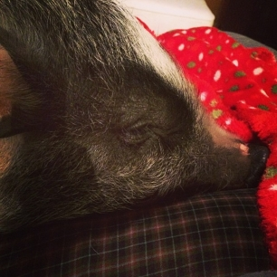 Daisy does not care that I have work to so #pigstagram